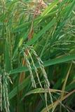 Doença de planta, panicle sujo no arroz imagem de stock
