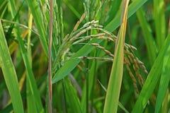 Doença de planta, panicle sujo no arroz fotos de stock royalty free