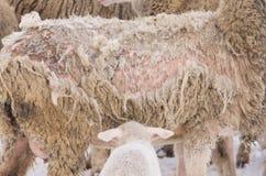 Doença dos carneiros fotos de stock