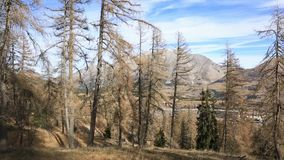 Doença em uma floresta da árvore de abeto vídeos de arquivo