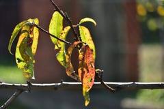 Doença nas folhas da árvore de pêssego no outono foto de stock