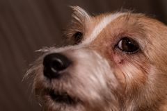 Doença sarnento da pele do nad da pele dos olhos da alergia do cão Riscos do close up fotografia de stock royalty free