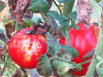 Doenças de planta comuns do tomate de Phytophthora Infestans da ferrugem atrasada foto de stock