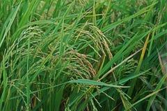 Doen?a de planta, panicle sujo no arroz fotografia de stock