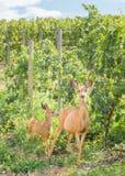 Doen för mulahjortar och lismar anseende utanför vingård i sommar Royaltyfria Foton