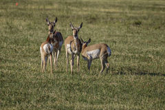 Doen för Pronghorn antilop och lismar arkivfoto