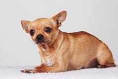 Doen schrikken hond Chihuahua stock foto