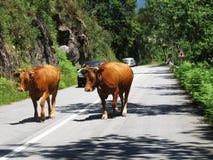 Doen schrikken Koeien die vrij - Reis Europa, Portugal lopen Royalty-vrije Stock Foto's