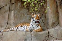 Doende leunen tijger Stock Foto's