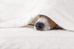 Doente do cão, doente ou sono fotografia de stock