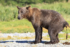 Does a bear in the woods. Brown bear doing it in the woods Stock Image
