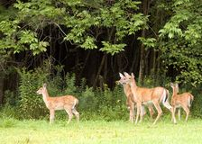 Does And Fawns Stock Photo