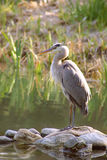 Does he see me now. Great Blue Heron standing over worried turtle Royalty Free Stock Photography