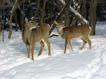Does In Winter Snow. Two whitetail does at woods edge in winter snow royalty free stock image