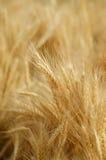 dof域金黄浅垂直的麦子 库存图片