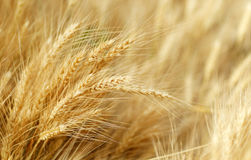 dof域金黄浅垂直的麦子 免版税库存图片