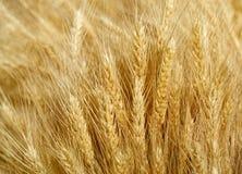dof域金黄浅垂直的麦子 库存照片