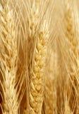 dof域金黄浅垂直的麦子 免版税库存照片