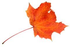 dof大叶子槭树红色 免版税库存照片