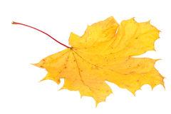 dof大叶子槭树黄色 免版税库存图片