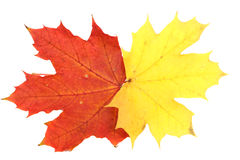 dof大叶子槭树 库存照片