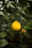 dof柠檬浅结构树 免版税库存图片