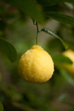 dof柠檬浅结构树 免版税库存照片