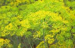 dof浅茴香的庭院 免版税图库摄影