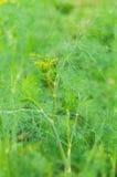 dof浅茴香的庭院 库存图片