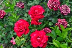 dof ανασκόπησης πράσινο απομόνωσης ρηχό λευκό τριαντάφυλλων φύλλων κόκκινο Στοκ φωτογραφίες με δικαίωμα ελεύθερης χρήσης