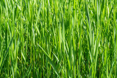 dof ανασκόπησης στενό ρηχό θερινό θέμα φύσης χλόης πράσινο επάνω Στοκ φωτογραφία με δικαίωμα ελεύθερης χρήσης