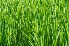 dof ανασκόπησης στενό ρηχό θερινό θέμα φύσης χλόης πράσινο επάνω Στοκ εικόνα με δικαίωμα ελεύθερης χρήσης