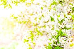 dof ανθών αζαλεών στενή ρηχή άνοιξη λουλουδιών επάνω Άσπρα WI υποβάθρου συνόρων σχεδίου λουλουδιών άνοιξη Στοκ φωτογραφίες με δικαίωμα ελεύθερης χρήσης
