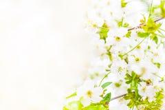 dof ανθών αζαλεών στενή ρηχή άνοιξη λουλουδιών επάνω Άσπρα WI υποβάθρου συνόρων σχεδίου λουλουδιών άνοιξη Στοκ φωτογραφία με δικαίωμα ελεύθερης χρήσης