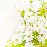 dof ανθών αζαλεών στενή ρηχή άνοιξη λουλουδιών επάνω Άσπρα WI υποβάθρου συνόρων σχεδίου λουλουδιών άνοιξη Στοκ Φωτογραφία