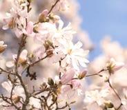 dof ανθών αζαλεών στενή ρηχή άνοιξη λουλουδιών επάνω όμορφο λευκό λουλουδιών Στοκ Εικόνα
