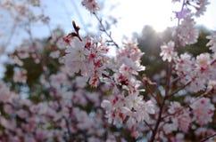 dof ανθών αζαλεών στενή ρηχή άνοιξη λουλουδιών επάνω Στοκ Εικόνα