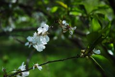 dof ανθών αζαλεών στενή ρηχή άνοιξη λουλουδιών επάνω Στοκ εικόνες με δικαίωμα ελεύθερης χρήσης