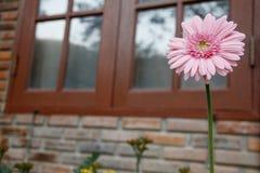 dof μαργαριτών ροζ λουλουδιών ρηχό Στοκ Φωτογραφίες