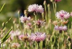 dof μαργαριτών ροζ λουλουδιών ρηχό Στοκ Εικόνα