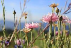 dof μαργαριτών ροζ λουλουδιών ρηχό Στοκ φωτογραφία με δικαίωμα ελεύθερης χρήσης