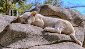 dof ομορφιάς σκυλιών εστίασης ρηχός ύπνος μύτης s εικόνας μακρο Στοκ Φωτογραφίες