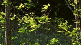 dof πράσινη ρηχή άνοιξη φύλλων απόθεμα βίντεο