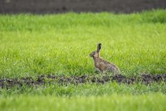 dof πράσινο κουνέλι χλόης ρηχό Στοκ Εικόνα