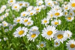 在绿色草甸的雏菊花在一个夏日 库存图片