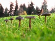 dof-champinjoner blir grund Fotografering för Bildbyråer