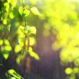 dof-greenleaves blir grund fjädern Nytt knoppar Vårnaturbegrepp arkivfoton