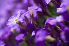 dof kwiatów płytki fiołek Obrazy Royalty Free