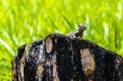 dof płytkie na jaszczurki, fotografia royalty free