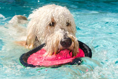 Dof playing fetch in swimming pool Royalty Free Stock Image